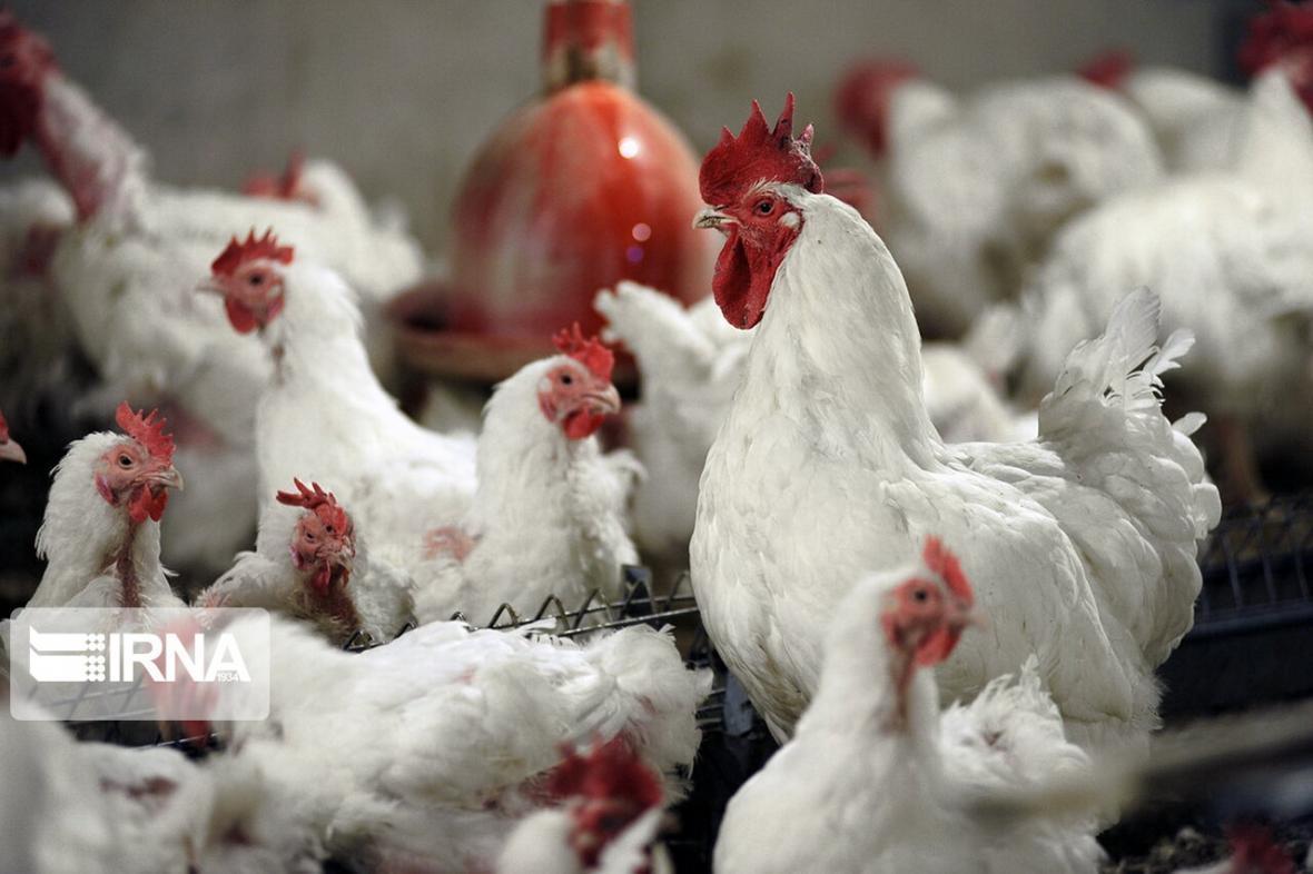 خبرنگاران سالانه حدود 7 هزار تن گوشت مرغ در خاش تولید می شود