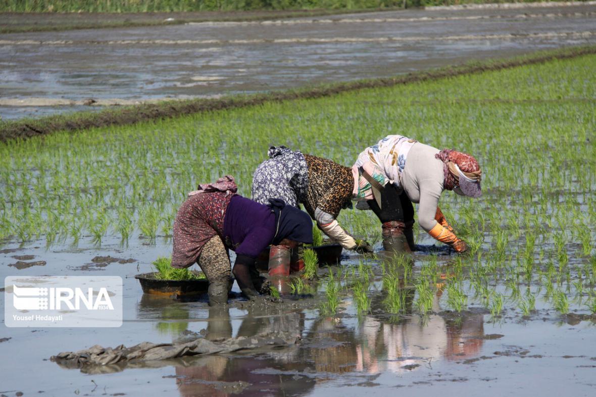 خبرنگاران کشت برنج در شوشتر شروع شد
