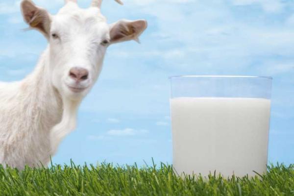 شیر بز چه تفاوتی با شیر گاو دارد؟